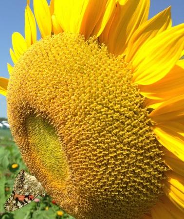 KS Farm Sunflowers