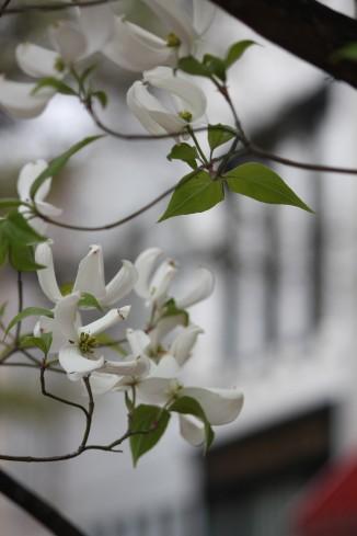 Dogwood Flower13