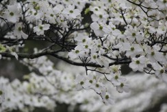 Dogwood Flower18