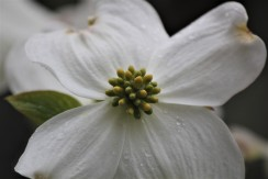 Dogwood Flower19