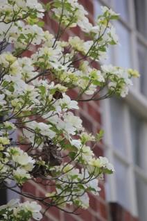 Dogwood Flower4